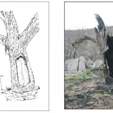 Scarred Tree Gunn 1983 and 2007