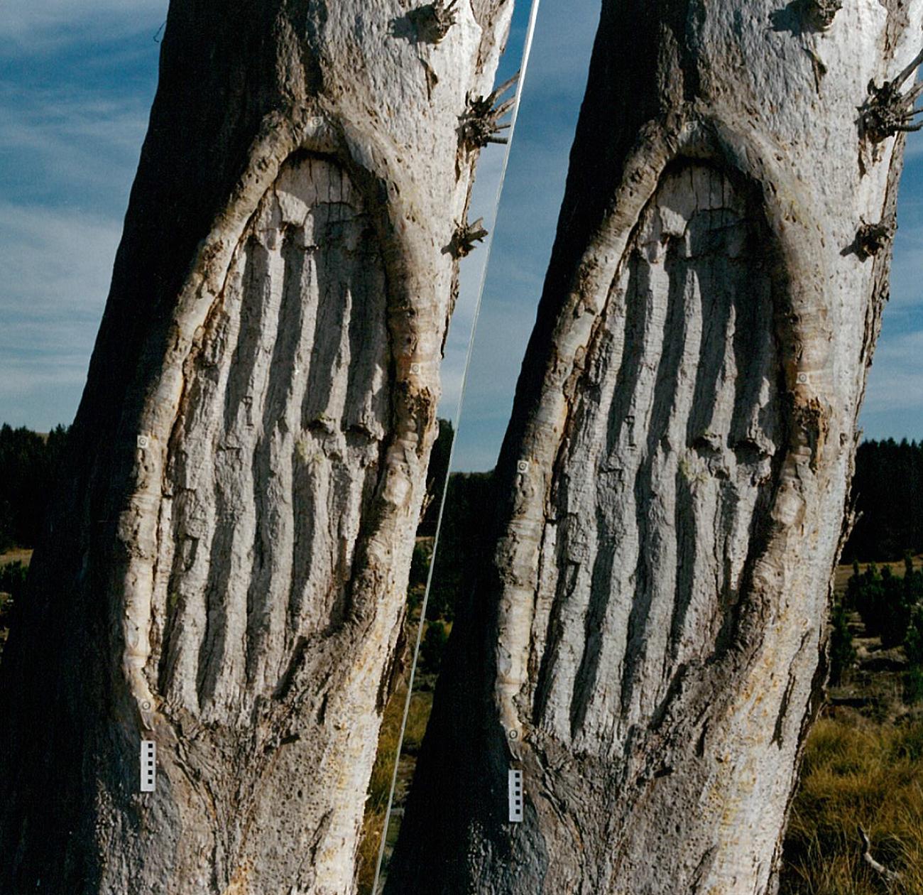 Stromlo Scarred Tree Navin Officer Heritage Consultants